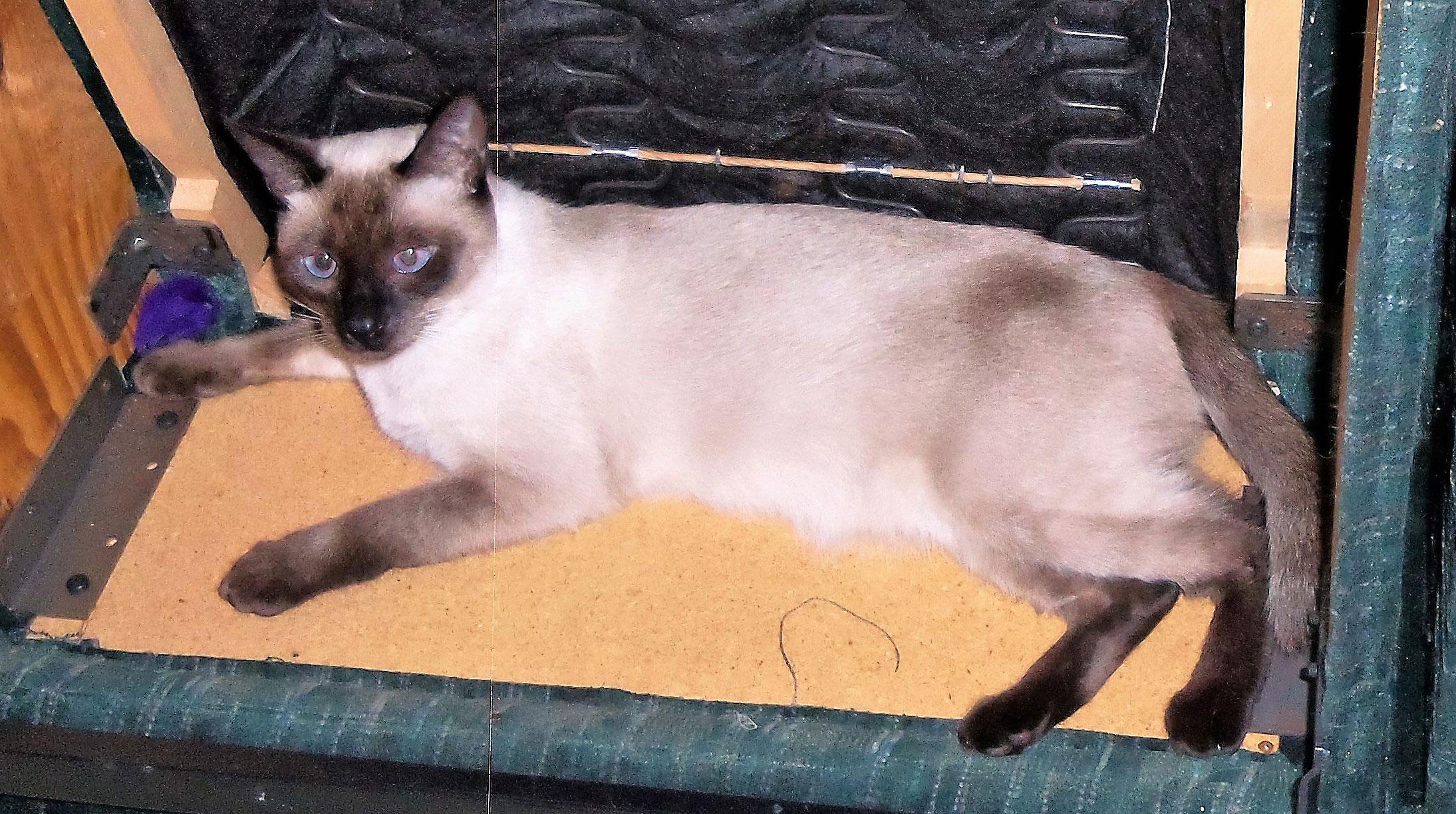 2017 Purebred Cat Show Best Cat In Show